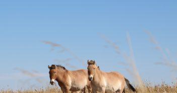 prewalski pferde, wüste gobi, mongolische wüste