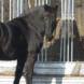 Pferde kauen ähnlich wie Wiederkäuer