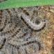 Eichenprozessionsspinner: Gefahr für Mensch und Bäume