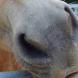 Neuer Lebendimpfstoff gegen Influenza beim Pferd