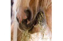 Nahaufnahme: Pferd frisst Heu