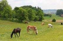 Tierquäler Pferde Weide
