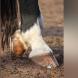 Huf zeigt: das Pferd ist ein Langstreckenläufer