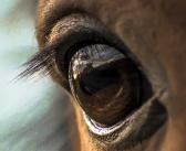 Gestresste Pferde blinzeln weniger