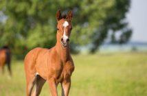 Ein Fohlen auf der Weide. Foto: Sirid Hahn/adobe.stock.com