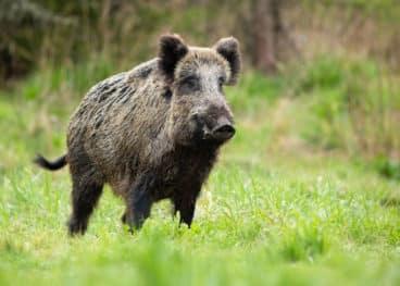 Wildschwein oder Schwarzwild sorgt häufig für große Schäden auf Pferdeweiden.
