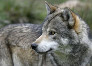 Wölfe können für Unruhe auf der Pferdeweide sorgen.