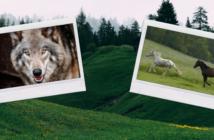 Wolfsregulierung: Pferd und Wolf